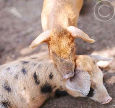 Woodland/Pastured Pork